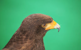 Eagle: Harris Hawk (Parabuteo unicinctus) Stock Photography