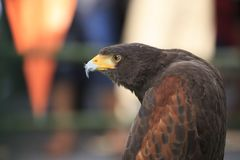 Eagle: Harris Hawk (Parabuteo unicinctus) Royalty Free Stock Images