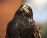 Eagle: Harris Hawk (Parabuteo unicinctus) Stock Photos