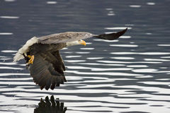 An eagle has a fish in its talons. Royalty Free Stock Photo