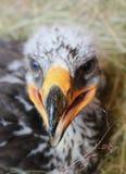 Eagle Hatchling I Royalty Free Stock Photos