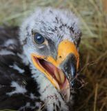 Eagle Hatchling II Stockfoto
