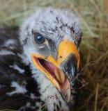 Eagle Hatchling II Stock Photo
