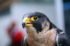 Eagle Hawk immagini stock