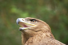 Eagle head. Close up of an eagle and inside view of its beak Royalty Free Stock Photography