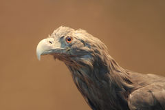 Eagle head. Close up of eagle head in beige background stock photos