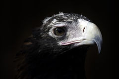 Eagle head. Close up of the head of a wedge tail eagle in Australia royalty free stock images