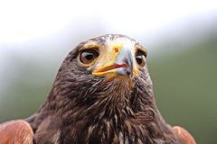 Eagle head Royalty Free Stock Images
