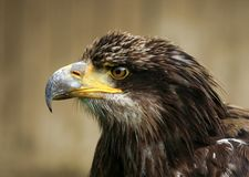 Eagle head Stock Photo