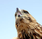Eagle head Royalty Free Stock Photos