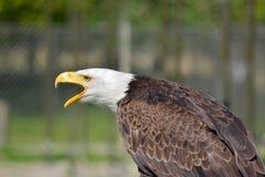 Free Eagle Head Stock Image - 31437921