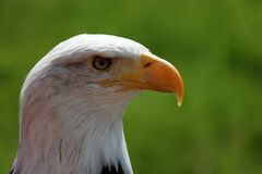 Eagle head Stock Photography