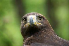 Eagle head att se upp kameraslutet Royaltyfria Bilder