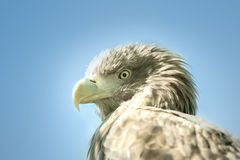 Eagle head on a blue sky background close-up. An eagle head on a blue sky background close-up royalty free stock photography