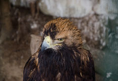 Eagle head brown Royalty Free Stock Photo