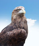 Eagle head close up Stock Images