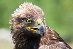Eagle head. Close up shot of eagle head Royalty Free Stock Image