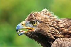 Eagle head Stock Photos