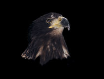 Eagle head isolated on black portrait Royalty Free Stock Photo