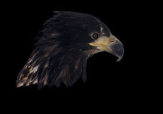 Eagle head isolated on black portrait looking down Stock Photos