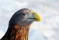 Eagle head outdoors winter portrait Stock Photos