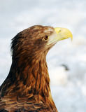 Eagle head outdoors winter portrait Stock Images