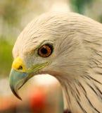 Bald Eagle head portrait. Close up of an auspicious eagle found in India(KRISHNA PARINTHU&#x29 Royalty Free Stock Photography