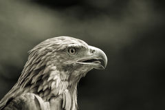 Eagle head sepia Royalty Free Stock Photos