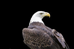 Eagle Head and Shoulders Stock Photo