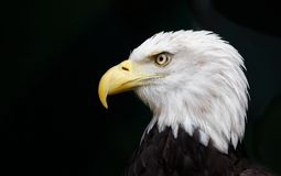 Eagle head threatened Royalty Free Stock Photography