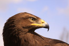 Eagle head Royalty Free Stock Photo