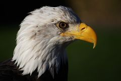 Eagle Headshot Side chauve sur le plan rapproché photos stock
