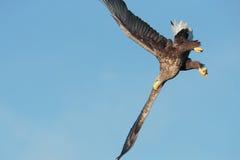Eagle-het duiken stock foto