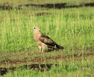 Eagle in het gras Royalty-vrije Stock Foto's