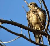 Eagle het roofdier Stock Foto