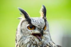 Eagle-hibou Photos libres de droits