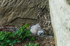 Eagle-hibou avec au nid Photo libre de droits