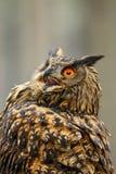 Eagle-hibou eurasien - bub de Bubo photographie stock