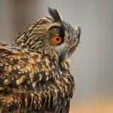 Eagle-hibou eurasien - bub de Bubo image libre de droits