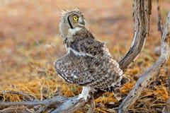 Eagle-hibou repéré - désert de Kalahari photo stock