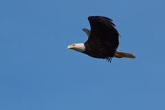 Eagle in High Wind Stock Image