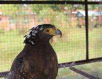 Eagle hinter den Stangen Stockbilder