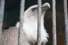 Eagle hinter den Stangen der Zoozelle Stockbild