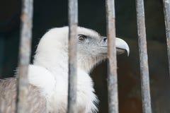 Eagle hinter den Stangen der Zoozelle Lizenzfreie Stockbilder