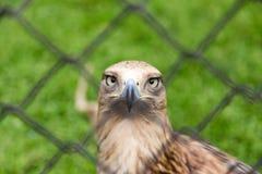 Eagle hinter einem Zaun im Park Stockbild