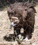 Eagle hinter einem Zaun im Zoo Lizenzfreies Stockbild