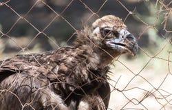 Eagle hinter einem Zaun im Zoo Stockfotografie