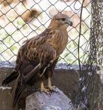 Eagle hinter einem Zaun im Zoo Stockfotos