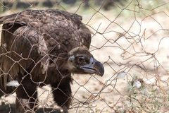 Eagle hinter einem Zaun im Zoo Stockbild