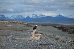Eagle hockte auf Treibholz in Alaska Stockfoto